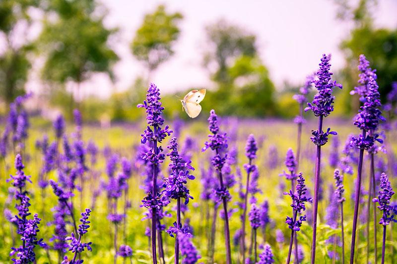La salvia à fleurs sert à améliorer la santé.