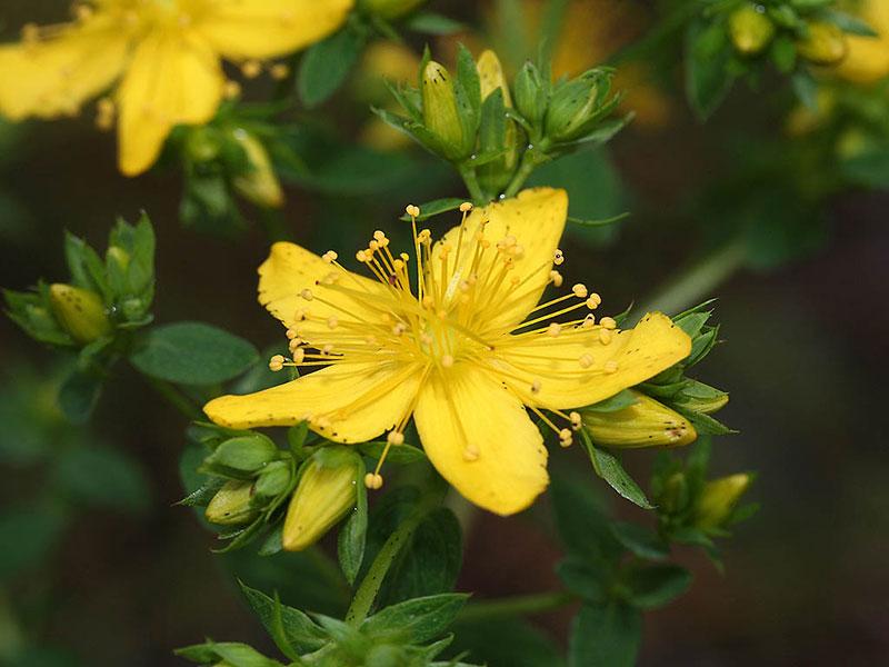 Cette fleur peut faire beaucoup pour votre santé.